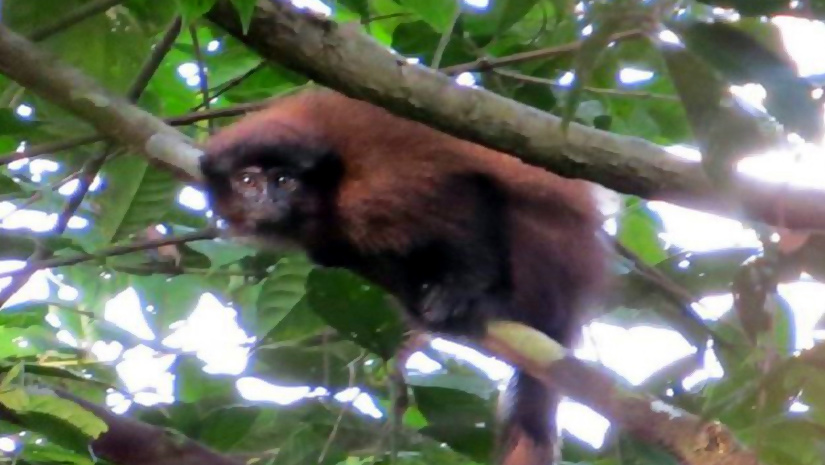 A-New-species-of-Monkey