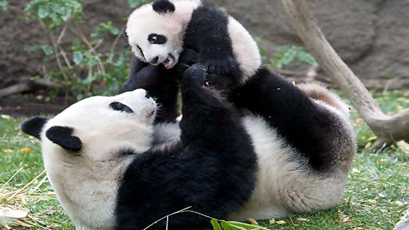 Lets-Welcome-2-More-Panda
