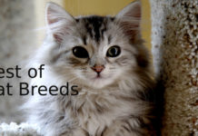 Best-of-Cat-Breeds
