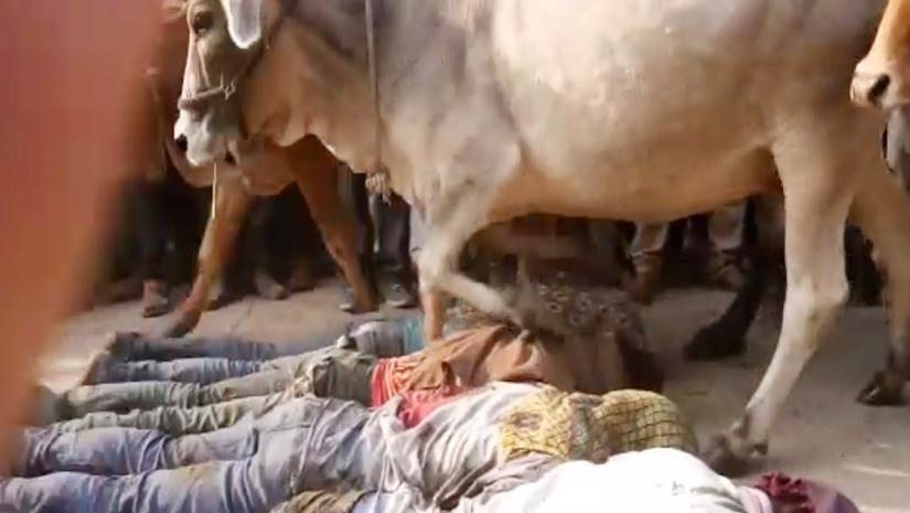 Cow-Tramping